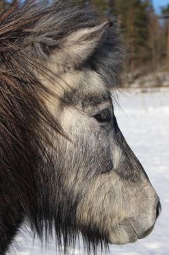 Romeo on positiivinen hevonen joka on aina iloisella tuulella. Oikea hurmuri!