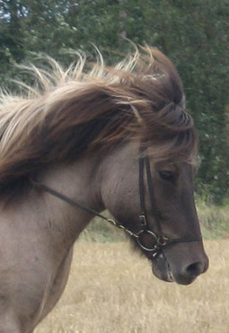 Ari is a big and cute gelding with nice gates. Playful and reliable.
